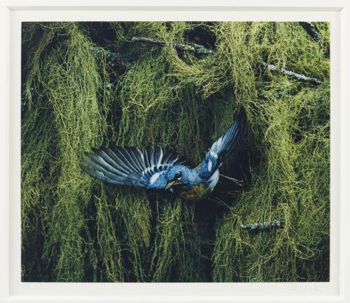 Eliot Porter<br> <i>Parula Warbler, Parula Americana, Great Spruce Head Island, Maine</i>, 1968<br> Dye-transfer print<br> Image: 8 1/2 x 10 inches / 21.6 x 25.4 cm Frame: 24 x 20 inches / 61 x 50.8 cm